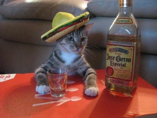 jpsecuervo,alcohol,cat,funny-877d66b8d8e5765f3c109e5a45d2f6f7_h